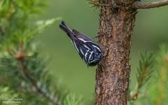 Black-and-white Warbler (salmoteb@rogers.com) Tags: bird warbler outdoor nature wild wildlife perch blackandwhite canada ontario songbird