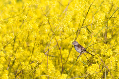 Wildcat Song Sparrow in Mustard-5680 (alankrakauer) Tags: ebrpd parks wildcat wildcatcanyon publiclands mustard spring flowers yellow birds nature animals eastbay bayarea