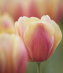 tulips (Mark Chandler Photography) Tags: 7dmarkii flowers ga georgia marietta markchandler nature tulips bokeh canon city color colour park photo photography square stock flower flora pink orange green yellow