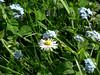 Wiesenblumen (onnola) Tags: koblenz rheinlandpfalz deutschland germany rhinelandpalatinate frühling spring blüte blossom blume flower wiese gänseblümchen vergissmeinnicht bellisperennis daisy wiesenblume myosotis waldvergissmeinnicht myosotissylvatica forgetmenot