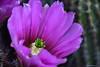 ER 180504 (4) (Paolo Bonassin) Tags: cactus cactaceae echinocereus flowers