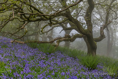 New and Old (Frank L 2008) Tags: bluebells mist nikon d850 frank leavesley dorset