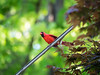 top o' the mornin' to ya (RubyT (I come here for cameraderie!)) Tags: olympusomde10ii m75300 cardinal bird maple spring green red
