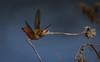 Allen's Hummingbird  Madrona Marsh Torrance California  231 (pekabo90401) Tags: allenshummingbird hummingbird madronamarsh birdwatching birdwatchinglosangeles birdsofmadronamarsh torrance vernalmarsh pekabo90401 100400 80d canon80d canon camaraderie friendship fugl chim marshmonkey wesen vogel oiseau avem manu selasphorussasin zumbadordeallen colibridallen yearroundbirdsforus lightroom lind ibon 鳥 새 پرنده πουλί colibrí колибри 蜂鸟 κολίμπρι kolibri 벌새 ハチドリ tuhingaomua นกที่เล็กที่สุดของโลก chimruồi chasingabig sumpmonkey flyingbugrightuppercorner