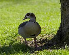 The Cool Dude (MrBlueSky*) Tags: egyptiangoose goose bird animal nature outdoor colour royalbotanicgardens kewgardens london pentax pentaxart pentaxlife pentaxawards pentaxflickraward pentaxk1mkii aficionados