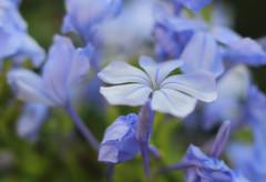 Soft... (Debmalya Mukherjee) Tags: flower softfocus bokeh 50mm canon550d debmalyamukherjee plumbagoauriculata