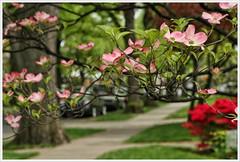 """Pink, Red & Green..."" (Alexxir) Tags: newyork brooklyn morning street serene pink trees flowers redbushes greengrass alley park streetphotography"