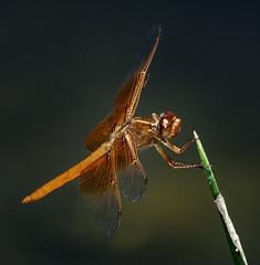 Red Dragonfly On A Green Stick (Bill Gracey 18 Million Views) Tags: red dragonfly santeelakes oncameraflash nikonsb700 greenstick nature naturephotography naturalbeauty