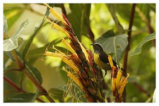 Sucrier à ventre jaune; Coereba Flaveola; Bananaquit