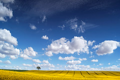 The Lone Tree (Nick Brundle - Photography) Tags: denmark field agriculture beauty canola flower flowerhead horizontal landscape landscaped may nature ruralscene sky springtime tree yellow nikon2470mmf28 nikond750 gettyimages