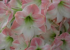 Pink lilies (billcoo) Tags: xf80mm fujifilm garden bokeh flowers lily dalat