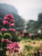Sormiou Floral mai 2018 -  16 (akunamatata) Tags: sormiou floral balade mai 2018 parc des calanques park provence fleurs flowers sentier sciatique