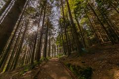 Sunshine Through the Wood (trevorhicks) Tags: gunnislake england unitedkingdom gb hatch wood forest trees sun sunshine outdoor canon 5d mark iv tamron pathway walk treeline devon spring