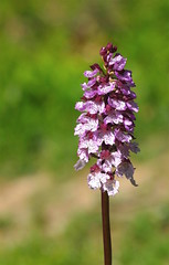 A tall, slender Kentish Lady - Orchis purpurea. (favmark1) Tags: kent orchids wildorchids kentorchids britishorchids ladyorchids orchispurpurea