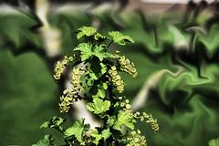 currant? (camerito) Tags: green grün currant ribisel blossoms blüten leaves blätter arty background künstlerische hintergrund edited bearbeitet camerito nikon1 j4 flickr unlimitedphotos nature