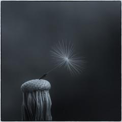 A single seed (Funchye) Tags: dandelion mælkebøtte nikon d610 105mm seed