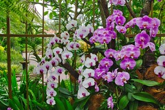 Orchids in the National Orchid Garden in Singapore (UweBKK (α 77 on )) Tags: national orchid garden botanical park flowers flora bloom blossom nature plants singapore southeast asia sony alpha 77 slt dslr
