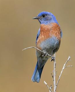 Male Western Bluebird (Sialia mexicana) - Out on a limb...