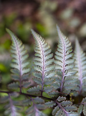 Japanese Painted Fern (s.d.sea) Tags: garden spring klahanie issaquah washington washingtonstate pnw pacificnorthwest pentax k5iis grow plant plants floral flowers flower bloom outdoors nature colorful japanese painted fern fronds detail macro closeup green