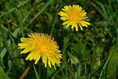 Dandelions on a meadow (Rostam Novák) Tags: dandelions meadow