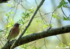 Pinson des arbres ♂ (jean-daniel david) Tags: oiseau pinson pinsondesarbres nature réservenaturelle yverdonlesbains suisse suisseromande vaud arbre branche feuille feuillage bokeh