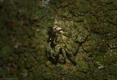 green crab (dustaway) Tags: rprr rotarypark lismore northernrivers nature nsw australia arthropoda arachnida rainforest araneae araneomorphae thomisidae stephanopinae stephanopis crabspider rotary park reserve rotaryparkrainforestreserve