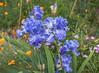 Blue bearded irises (julesnene) Tags: california canon1635mmf4lisusm canon5dmarkiv flower juliasumangil backyard beardediris blue flora julesnene