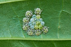 Eggs and Nymphs of Shield Bugs, Singapore (singaporebugtracker) Tags: singaporebugtracker shieldbugs insecteggs nymphs stinkbugs pentatomoidea emoji smile smiley happyface eggs macro cute redeyes pearls marbles pills round