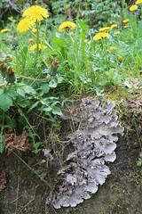 Dandelions and lichen (Badly Drawn Dad) Tags: gbr geo:lat=5236328226 geo:lon=272121906 geotagged ludlow riverteme shropshire unitedkingdom