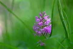 Orchidée (jpto_55) Tags: fleur orchidée orchispyramidal macro bokeh xe1 fuji fujifilm fujixf55200mmf3548rlmois tarn france ngc