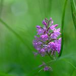 Orchidée thumbnail