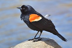 Red-winged Blackbird (DaPuglet) Tags: redwingedblackbird blackbird black red bird birds animal animals feathers river nature wildlife wildbirds ontario coth5 ngc npc