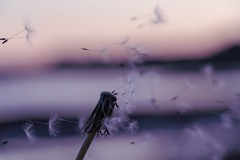Wispy wishes in the wind (lewi1553) Tags: wildflower nature namaste pretty colour pastel depthoffield bokeh seeds dandelion wish wispy dreams