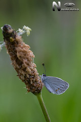 Cupido Argiades (Nikologia) Tags: lycaenidae licenido lepidoptero macrofotografia mariposa insecto cupido