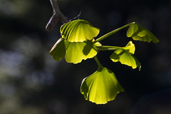 New Ginkgo Leaves in Afternoon Light (brucetopher) Tags: ginkgo ginko ginkgotree ancienttree ancient healing leaf leaves ginkgoleaf ginkgoleaves livingfossil fossil fern permian pliocene green greenleaf catchy colors tree plant foliage pattern organic outdoor serene peace peaceful light sunlight afternoonlight yellow