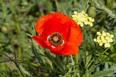 Amapola (juanda021282) Tags: primavera spring flores flowers plantas plants amapola amapolas papaver amapolaroja