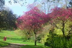 Path to Magnolias (Dave Roberts3) Tags: wales newport gwent magnolia pink shadow spring springtime