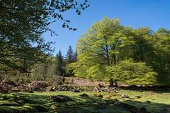 Dartmoor in Spring - NK2_5250 (Jean Fry) Tags: burrator dartmoor dartmoornationalpark devon englanduk nationalparks trees uk westcountry woodland spring springtime deancombearea
