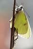 pieride del biancospino (claudiopoli) Tags: animalia arthropoda insecta lepidoptera pieridae aporia crategi