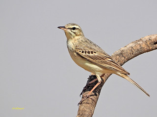 Bisbita campestre (Anthus campestris) (31)