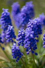 Grape Hyacinth (DJNstudios) Tags: flower flowers bloom blossom spring petal petals pollen cherry buttercup macro macrophotography lenses hyacinth bokeh depth field dof