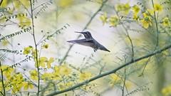 Click... (Coisroux) Tags: d850 nikond850 birdsinflight macro closeup action movement frozenintime hummingbird wingspan birdsofamerica blooms yellows
