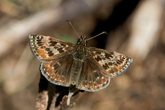 Erynnis tages - the Dingy Skipper (BugsAlive) Tags: butterfly butterflies mariposa papillon farfalla schmetterling бабочка animal outdoor insects insect lepidoptera macro nature hesperiidae erynnistages dingyskipper pyrginae wildlife gloucestershire rodborough liveinsects uk