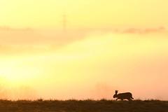 Auf dem Fuchsberg (IIIfbIII) Tags: silhouettes feldhase hase rabbit for foggy brume sunlight sun heaven mv mecklenburg mse gegenlicht golden mammals morning sonnenaufgang wildlife wildlifephoto naturephotography nature fantasticnature canon