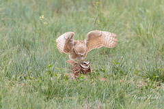Burrowing Owl mating sequence - 8 of 22