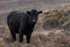 New Forest Calf in the Rain (pdjenkins54) Tags: england 214mm sigma calf cattle canon wet unitedkingdom wild wildlife newforest hampshire grassland animals nature rain cow heath burley gb