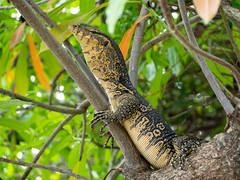 P5201007 (ybbuc) Tags: reptile tree monitorlizard lizard climb nature park thailand chachoengsao bokeh
