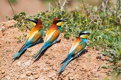 20mai18_02_prigorii prundu 02 (Valentin Groza) Tags: prigorie prigorii bee eater merops apiaster romania summer bird flight bif birdwatching outdoor