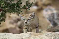 Chat des sables (Passion Animaux & Photos) Tags: chat sables sand cat felis margarita zoo lyon france