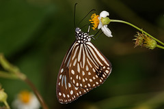 The Dark Glassy Tiger (scubahenlik) Tags: butterfly insect nymphalidae tiger thailand nature suratthani